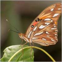 agraulis_vanillae_butterfly_insect_214749