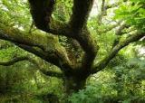 THE OAK ** Quercusrobur