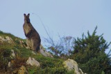 Irish Wallabies